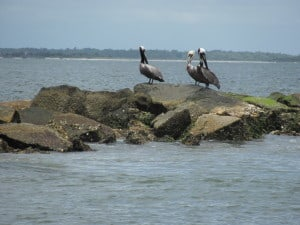 Pelicans on Charleston, SC Jetties